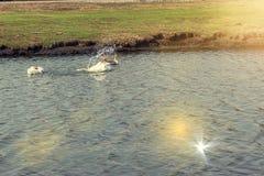 G?nse schwimmen im Teich stockbilder