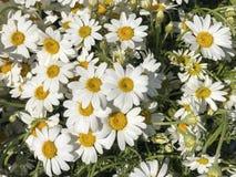 G?nsebl?mchenblumen auf Garten im Fr?hjahr stockfoto
