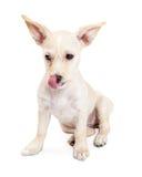 Głodne chihuahua Crossbreed szczeniaka oblizania wargi Zdjęcia Stock