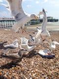 głodni seagulls Obrazy Royalty Free