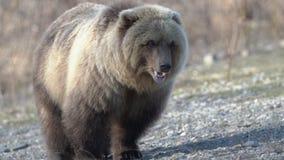 G?odny dziki Kamchatka nied?wied? brunatny je ludzkiego jedzenie kt?ry on dawa? ludzie, Zoom wewn?trz zdjęcie wideo
