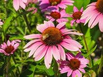 Głodny Honeybee Obraz Stock