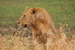 Głodny lew Zdjęcia Royalty Free