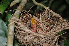 Głodny ptak Fotografia Royalty Free