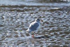 Głodny seagull Obraz Royalty Free