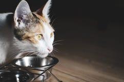 G?odny tricolor kot je suchego jedzenie Zdrowy holistyczny zdjęcia royalty free