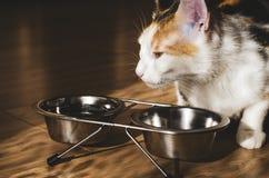 G?odny tricolor kot je suchego jedzenie Zdrowy holistyczny obrazy royalty free