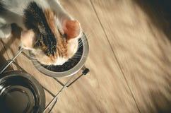 G?odny tricolor kot je suchego jedzenie Zdrowy holistyczny fotografia royalty free