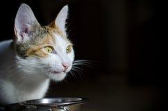 G?odny tricolor kot je suchego jedzenie Zdrowy holistyczny fotografia stock