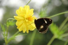 Głodu motyl Obrazy Stock