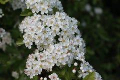 Głogów kwiaty Obrazy Stock