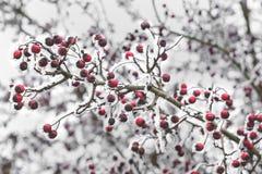 Głogowe jagody Zdjęcie Royalty Free