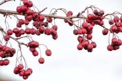 Głogowe jagody Obraz Royalty Free