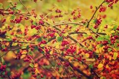 Głogowe jagody w naturze Zdjęcia Royalty Free