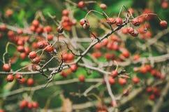 Głogowe jagody w naturze Zdjęcie Royalty Free