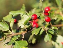 G?ogowi Crataegus krzaki z czerwonymi jagodami w ?wietle s?onecznym zdjęcie royalty free