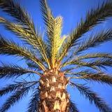 gömma i handflatan palmaetreen Royaltyfria Foton