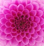 göra sammandrag petals Royaltyfri Bild