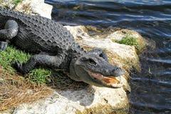 Głowa aligator Zdjęcie Stock