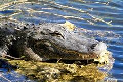 Głowa aligator Zdjęcie Royalty Free