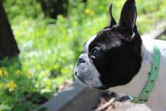 Głowa bostonu teriera pies w pogodnym parku Obraz Stock