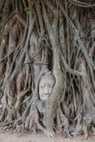 Głowa Buddha statua w drzewie Zdjęcia Stock