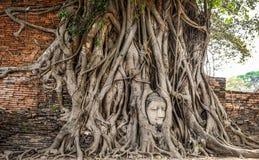 Głowa Buddha statua w starym drzewie zakorzenia Zdjęcia Royalty Free