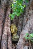 Głowa Buddha w Bodhi drzewie Obrazy Stock