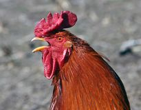 Głowa czerwony kogut Obrazy Stock