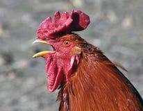 Głowa czerwony kogut Fotografia Stock