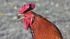 Głowa czerwony kogut Fotografia Royalty Free