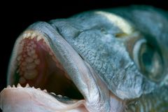 głowa dorado ryb Obraz Royalty Free