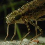 Głowa dragonfly boginka obraz royalty free