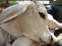 głowa dziecka krowy obraz royalty free