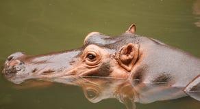 Głowa hipopotam w wodzie Zdjęcie Royalty Free