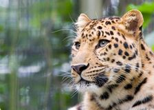 głowa jest jaguara Zdjęcia Royalty Free