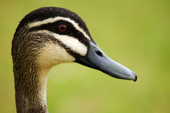 głowa kaczki Fotografia Royalty Free