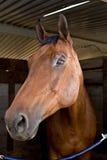 głowa konia Zdjęcie Royalty Free