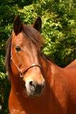 głowa konia brown obraz stock