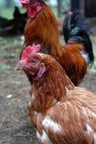 Głowa kurczak Zdjęcia Stock