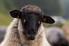 Głowa moorland cakiel Fotografia Stock