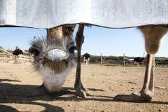 Głowa strusiów spojrzenia ridiculously, spojrzenia w obiektyw spod ogrodzenia i Zdjęcie Stock