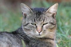 Głowa tabby kot Zdjęcia Stock