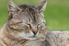 Głowa tabby kot Zdjęcie Royalty Free