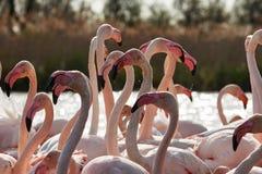 Głowy, szyje i belfrzy flamingi, Fotografia Stock