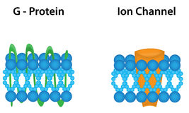 G Protein and Ion Channel Diagram Stock Photography