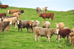 The G(r)azing cows Stock Photography