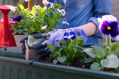 G?rtnerh?nde, die Blumen im Topf mit Schmutz oder Boden im Beh?lter auf Terrassenbalkongarten pflanzen Im Garten arbeitenkonzept lizenzfreie stockfotografie