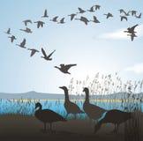 gąsek jeziorny migrowania brzeg Ilustracja Wektor