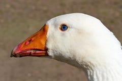 gęsi niebieskie oko biel Zdjęcia Royalty Free